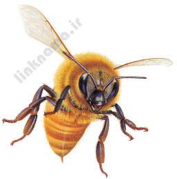 زنبور عسل یکی از مفیدترین حشرات برای انسان