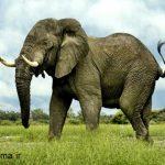 تحقیق فیل
